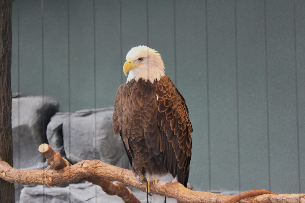 While Cathy was busy with the owl, Peter and I were watching the Eagle up close and peronal.