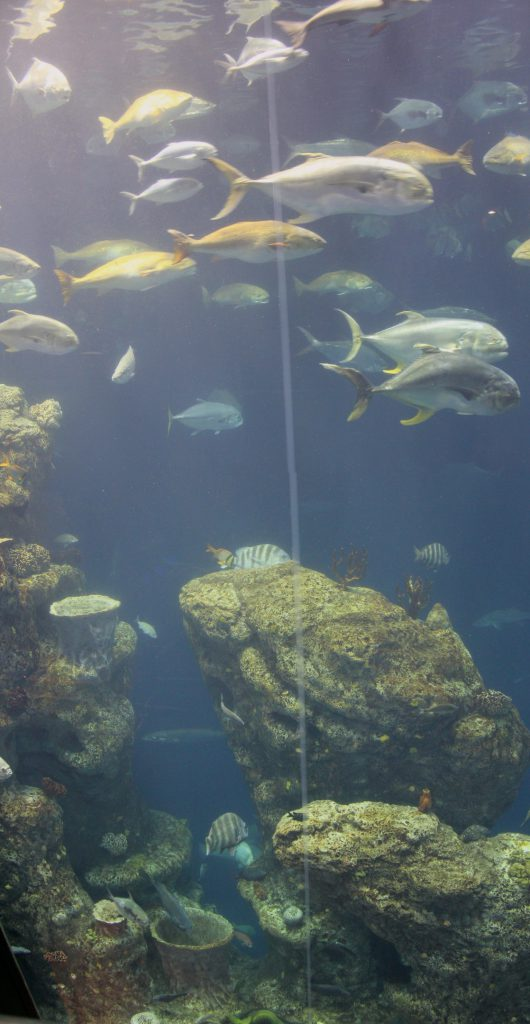 The main tank at the aquarium is about 40 feet high. It shows various strata of marine life. Here we are near the bottom.