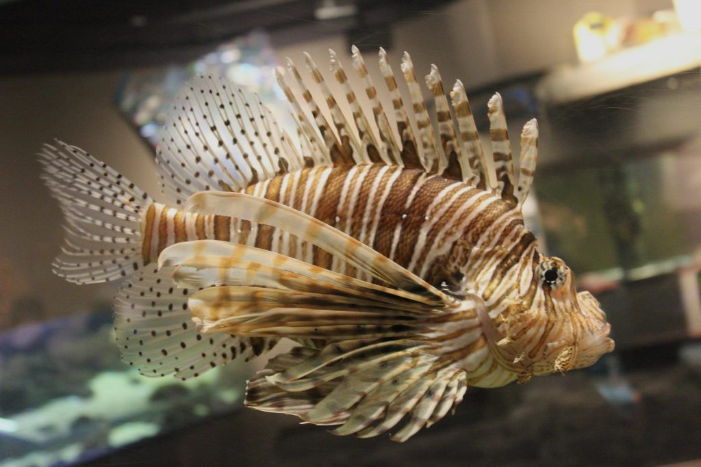 The Lion Fish (Salt Water).