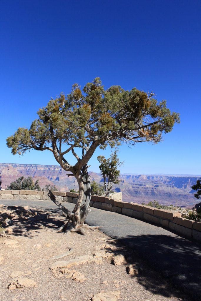 Utah Juniper at Moran Point. I do have a weakness for solitary Pinyon or Juniper trees.