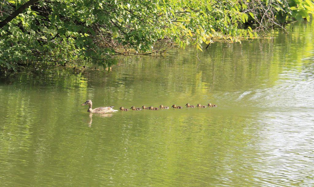 Wildlife in the lake in Centennial Park.