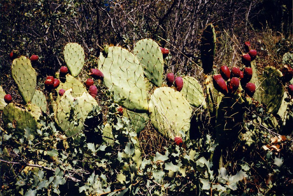Our friend, the prickly pear!